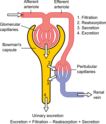 Physiology_of_Nephron
